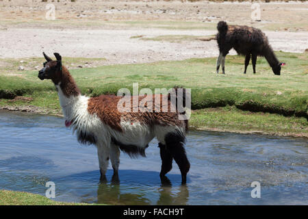 Llamas (Lama glama) grazing on the Bolivian Altiplano, Bolivia, South America - Stock Photo
