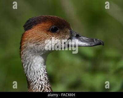 Cuban Whistling Duck (Dendrocygna arborea) or West Indian Whistling Duck,  black-billed whistling duck - Stock Photo