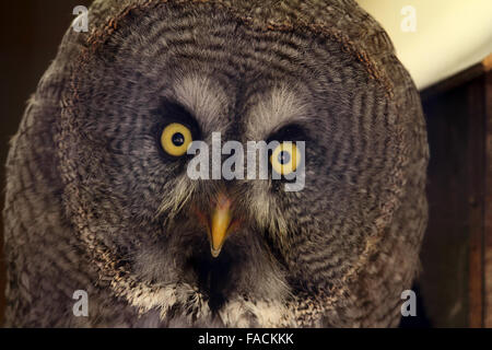 Great Horned Owl juvenile (Bubo virginianus) - Stock Photo