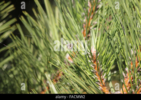 European garden spider (Araneus diadematus) spinning web in Austrian pine (Pinus nigra) - Stock Photo