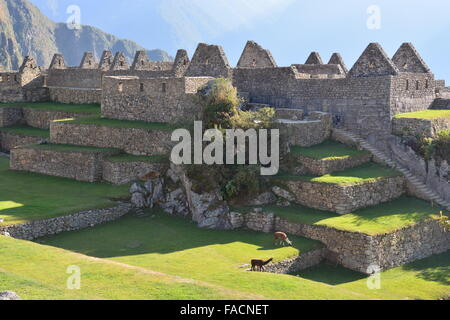 The sun rises over llamas and buildings in the urban sector at the Inca ruins at Machu Picchu, Peru. - Stock Photo