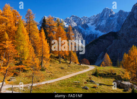 Colorful pine trees in autumn.Julian alps in Slovenia - Stock Photo