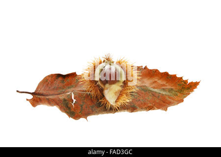 Sweet chestnut,Castanea sativa, seed and leaf isolated against white - Stock Photo