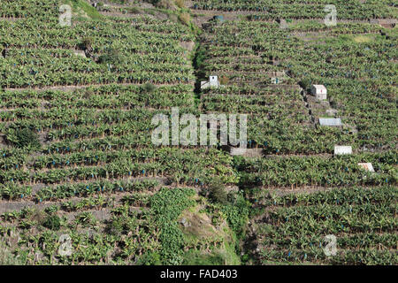 Banana plantations. Madalena do Mar, Madeira - Stock Photo
