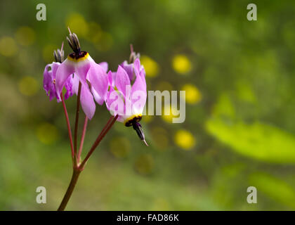Pink shooting stars in nature in California - Stock Photo