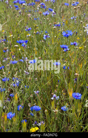 Portrait format image of Cornflowers growing in the wild at Lordington Lavender farm in West Sussex near Chichester - Stock Photo