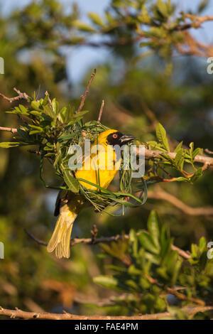 Southern masked weaver (Ploceus velatus) building nest, Western Cape, South Africa - Stock Photo