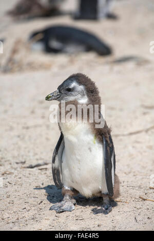 Young African penguin (Spheniscus demersus), Foxy Beach, Simons Town, Table Mountain National Park, South Africa - Stock Photo