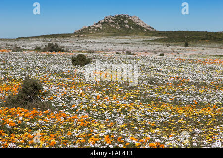 Spring wildflowers, Postberg section, West Coast national park, Western Cape, South Africa - Stock Photo