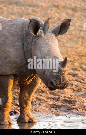 White rhino calf (Ceratotherium simum) with redbilled oxpecker (Buphagus erythrorhynchus), KwaZulu-Natal, South - Stock Photo