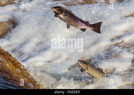 Atlantic salmon (Salmo salar) leaping on upstream migration, River Tyne, Hexham, Northumberland, UK - Stock Photo
