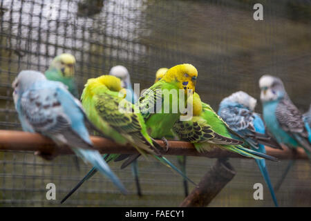 Budgie birds all in a row tucking in for the night - Stock Photo
