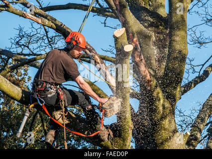 Tree surgeon hanging from ropes in a tree using a chainsaw to cut branches down. Chainsaw has sawdust and chippings - Stock Photo