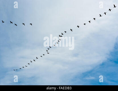 Flock of many black cormorant birds flying left to right in echelon formation on cloudy sky. - Stock Photo