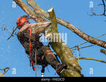 Chainsaw in use by a tree surgeon high up in a tree being felled.  Sawdust and chippings are flying. A tree branch - Stock Photo