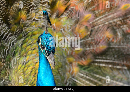 Portrait of a displaying Peacock - Stock Photo