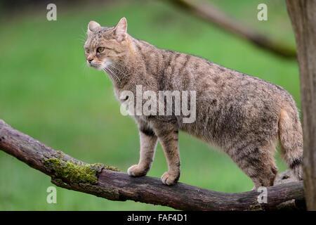 European wild cat (Felis silvestris silvestris) - Stock Photo