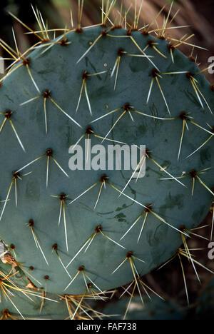 Opuntia robusta, Mexican cactus plant London UK - Stock Photo