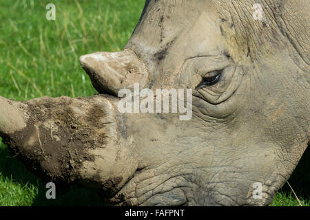 White Rhinoceros roaming in pastures at Knowsley Safari Park, Merseyside, UK. - Stock Photo