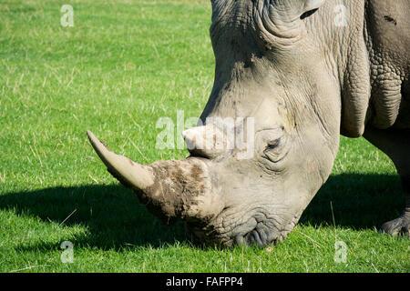 White Rhinoceros roaming in pastures at Knowsley Safari Park, Merseyside, UK. - Stock Photo