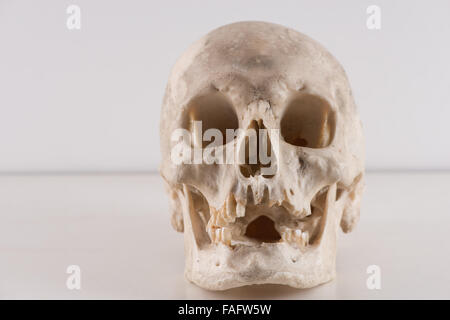 anatomy and physiology of real human skull cranium for scientific research slightly gruesome in studio pathology - Stock Photo