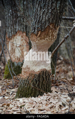 Beaver, Castoridae canadensis, damage to oak tree, Maine, USA - Stock Photo