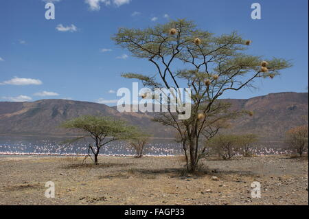 The tree on the shore of the lake. Many birds' nests in the branches. Lake with flamingos in the background. Kenya, - Stock Photo
