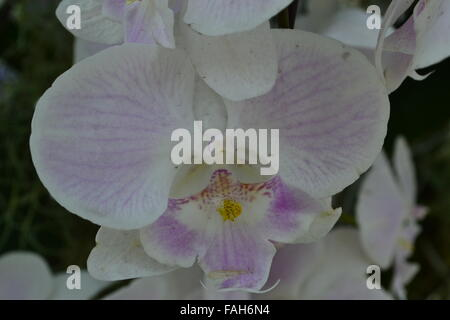 White and violet striped orchid flower - Stock Photo
