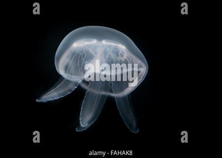 Moon jelly, moon jellyfish, common jellyfish, saucer jelly, Ohrenqualle, Ohren-Qualle, Qualle, Quallen, Aurelia aurita, Aurélie