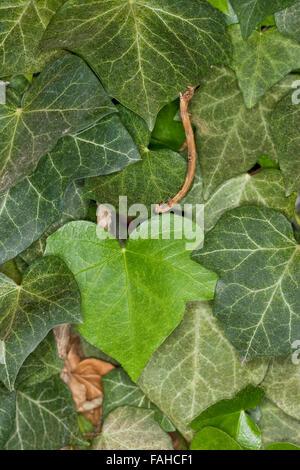 Swallow-tailed moth, caterpillar, Nachtschwalbenschwanz, Nacht-Schwalbenschwanz, Holunderspanner, Raupe, Ourapteryx - Stock Photo
