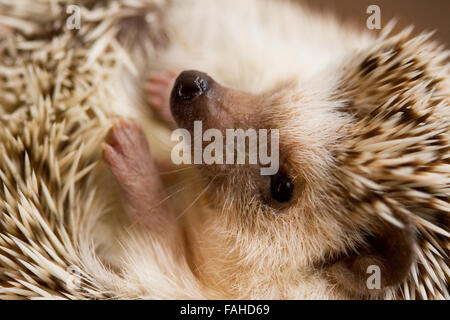 African Pygmy Hedgehog curled up - Stock Photo