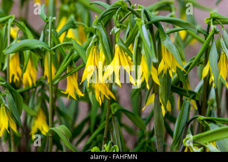 Uvularia grandiflora (large-flowered bellwort or merrybells) - Stock Photo