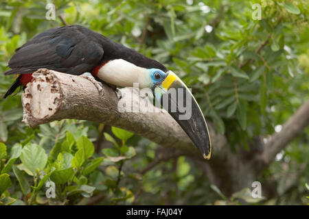 Toucan (Ramphastos Toco) sitting on tree branch in tropical forest or jungle. - Stock Photo