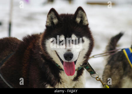 Siberian husky with closed eyes. Eye spots on fur visible, giving the impression the dog's eyes are open (Automimicry). - Stock Photo