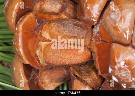 Stone Pine, Umbrella Pine, Pine nuts, seeds, Pine-nut, Pinienkern, Pinienkerne, Pinie, Schirmkiefer, Pinienzapfen, - Stock Photo