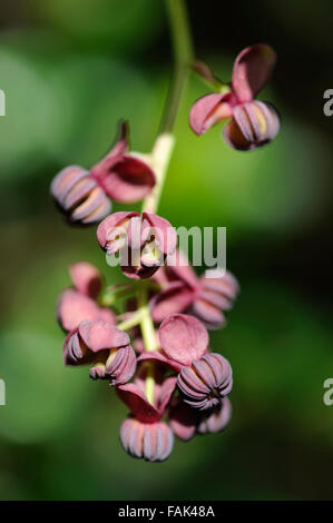 Close up of the unusual flowers of an Akebia Quinata plant, otherwise known as a chocolate vine. - Stock Photo