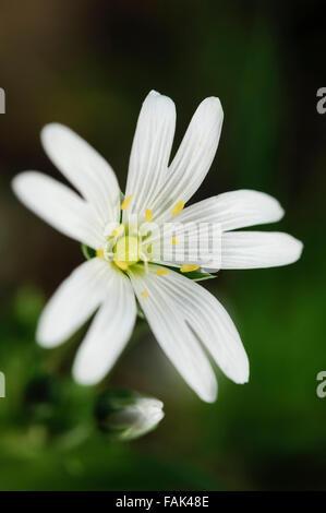 Greater Stitchwort flower (Stellaria Holostea) seen in close up. - Stock Photo
