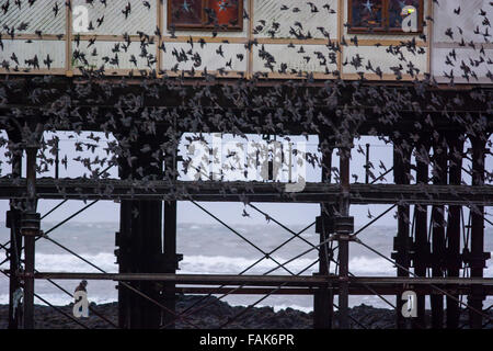 Aberystwyth, UK. 31st Dec, 2015. UK Weather: A murmeration of starlings arrive back to rest for the night under - Stock Photo