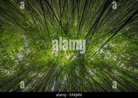 Looking up through the bamboo along the Pipiwai Trail near Hana, Maui - Stock Photo