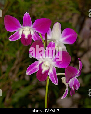 Cluster of vivid purple / magenta and white flowers of orchid Dendrobium 'Louisae' on dark background - Stock Photo