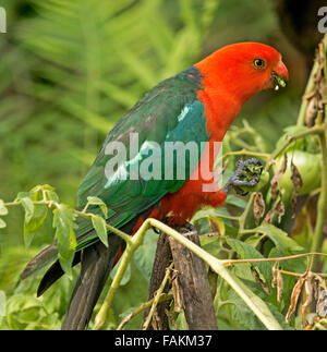 Spectacular vivid red and green male king parrot Alisterus scapularis on post eating green tomato in home garden - Stock Photo