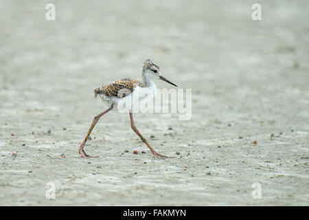 The black-winged stilt, common stilt, or pied stilt (Himantopus himantopus) is a widely distributed very long-legged - Stock Photo