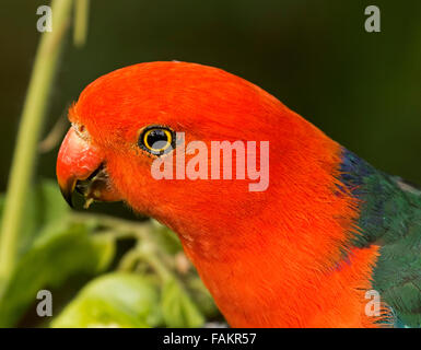 Close-up portrait of face and bright eye of spectacular vivid red and green male king parrot Alisterus scapularis in Australian garden