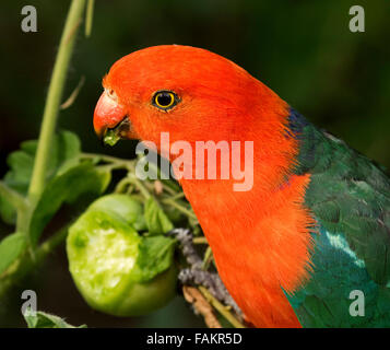 Spectacular vivid red and green male king parrot Alisterus scapularis eating green tomato against dark background - in home garden in Australia