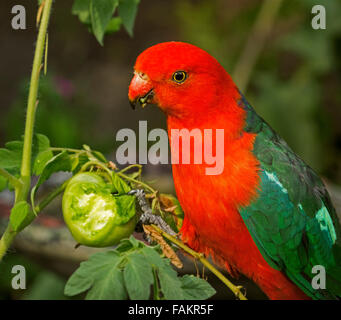 Spectacular vivid red and green male king parrot Alisterus scapularis eating green tomato in home garden in Australia