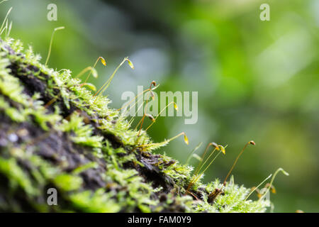 Close up to moss which grow on the wet wood - Stock Photo