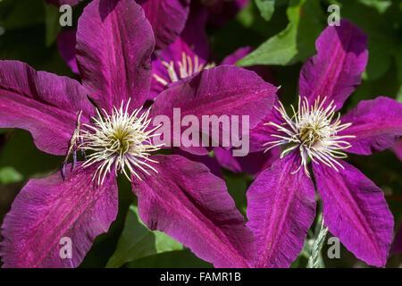 Clematis 'Niobe' purple Clematis garden - Stock Photo