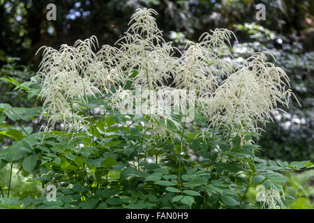 Aruncus dioicus, known as goat's beard, buck's-beard or bride's feathers - Stock Photo