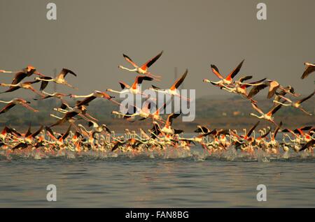 A large flock of Lesser Flamingo (Phoenicopterus minor), Ujjani Dam backwaters, Bhigwan, Maharashtra, India - Stock Photo