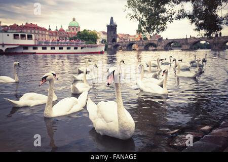 Swans on Vltava river in Prague, Czech Republic - Stock Photo